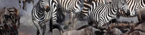 migration-mapito-tented-camp-serengeti